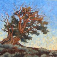 Pinus longaeva 'Dawn Catcher'/ Bristlecone Pine